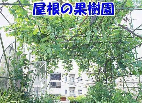 yanekaju-00.jpg